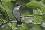 Eastern Kingbird (Tyrannus tyrannus) in late June.