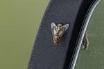 Deer Fly (Chrysops vittatus) in mid-June.