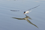 Common Tern (Sterna hirundo) and reflection. in early July.
