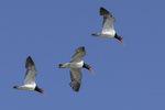 American Oystercatchers (Haematopus palliatus) in flight in early July.