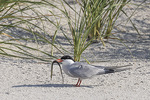 Common Tern (Sterna hirundo) with Northern Pipefish (Syngnathus fuscus) in early July.