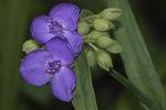 Spiderwort (Tradescantia virginiana) in bloom in early July.