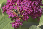 European Paper Wasp (Polistes dominula) on Buddleia (Budleja davidii) in late June.