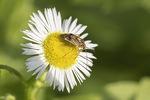 Lygus Plant Bug (Lygus species) in mid-July on Philadelphia Fleabane (Erigeron philadelphicus).