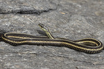 Ribbon Snake (Thamnophis saurita) basking on a rock in mid-July.
