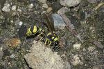 Potter Wasp (Eumenes mediterraneus) on the ground in mid-July.