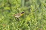 Male Common Yellowthroat (Geothlypis trichas) perched in Common Mugwort (Astemisia vulgaris) in mid-July.