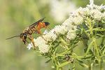 Great Golden Digger Wasp (Sphex ichneumoneus) on Slender-leaved Mountain Mint (Pycnanthemum tenuifolium) in late July.