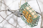 Tufted Titmouse (Baeolophus bicolor) on suet feeder in early February.