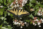 Eastern Tiger Swallowtail (Papilio glaucous) nectaring on Abelia in early August.