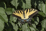 Eastern Tiger Swallowtail (Papilio glaucus) perched on Trumpet Creeper (Campsis radicans) in early August.