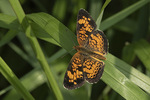 Pearl Crescent (Phyciodes tharos) in mid-August.