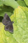 Common Sootywing (Pholisora catullus) in mid-August.