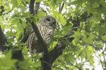 Barred Owl (Strix varia) roosting high in a Sweetgum (Liquidambar styraciflua)  late July.