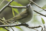 Red-eyed Vireo (Vireo olivaceus) in in willow in late August on fall migration.