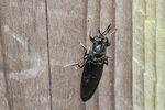 Black Soldier Fly (Hermetia illucens) on wooden fence in mid-August.