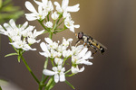 Common Compost Fly (Syritta pipiens) on flowering cilantro in late June.