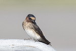 Juvenile Cliff Swallow (Petrochelidon pyrrhonota) in late August.