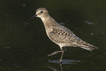 Juvenile Baird's Sandpiper (Calidris bairdii) on fall migration in late August.