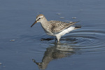 Juvenile White-rumped Sandpiper (Calidris fuscicolis) in early October on fall migration, showing the white rump.