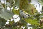 First-fall Chestnut-sided Warbler (Setophaga pensylvanica) in early September on fall migration.