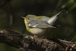 First-fall female Northern Parula (Setophaga americana) in early September on fall migration.