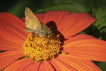 Male Sachem (Atalopedes campestris) on Mexican sunflower (Tithonia rotundifolia) in early September.