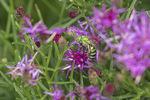 Female Bicolored Striped-Sweat Bee (Agapostemon virescens) in mid-September.