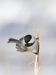 Black-capped Chickadee (Poecile atricapillus) in mid-January.
