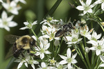 Female Leafcutter Bee (Megachile species) with Common Eastern Bumblebee (Bombus impatiens) in early September.