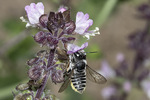 Female Leafcutter Bee (Megachile species), a native pollinator, on Thai Basil (Ocimum basilicum var. thyrsiflora)  in late August.