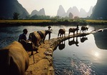 Gaotian water buffalo parade across dam on Jade River near Yangshuo (Guilin area)