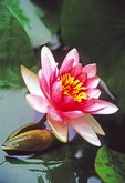 Chinese Lotus blossum