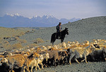 Uighur shepherd on horseback with flock of goats and sheep with Tien Shan Mountains in background