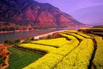 Rapeseed fields along the Jinshan (Golden Sands) River, the upper Yangtze in Yunnan province, near the First Great Bend, north of Lijiang