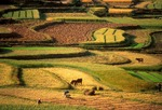 Yunnan farm fields (rice paddies) at harvest time near Dali