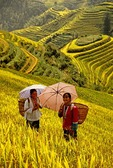 Ping'an terraced fields (Longji Titian or Dragon's Backbone Rice Terraces) with ripened rice and two young ethnic minority women with umbrellas (Guilin area)
