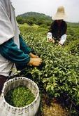 Hangzhou tea pickers of Longjing tea leaves on hillside of Dragon Well Tea Village