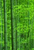 Bamboo grove at base of Huangshan mountain