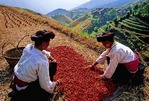 Red Yao national minority women sorting red peppers on Longji's terraced fields near Ping'an village (Guilin area).