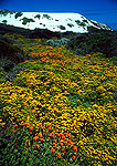 West Coast National Park spring fynbos wildflowers amid the dunes on the Atlantic shore