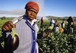 Cape Winelands field workers harvesting vegetable crop near Stellenbosch