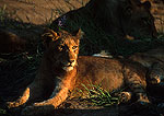 Kruger National Park lion cub with mother in private reserve outside park in Eastern Transvaal