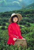 Hangzhou tea picker of Longjing tea leaves on hillside of Dragon Well Tea Village
