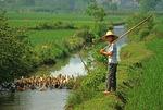 Farm boy near Guilin herding ducks in stream