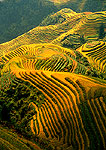 Ping'an terraced fields with ripened rice in autumn at Longji (Guilin area)