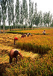 Kashgar rice harvest on irrigated land by Uygur farmers