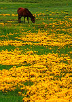 Tibetan horse in pasture of rapeseed in the Yarlong Zangbo River valley
