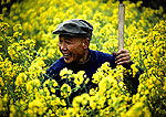 Suburban Shanghai farmer in rapeseed field