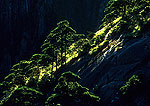 Huangshan (Yellow Mountain) backlit pines